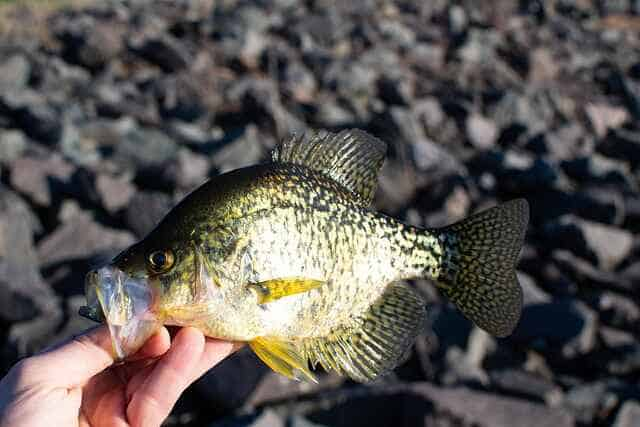 catching crappie with minnows